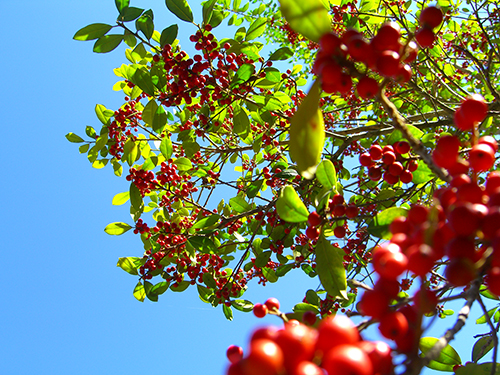 St Augustine Berries