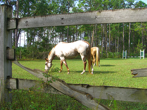 Picture of horse in Saint Augustine, Florida