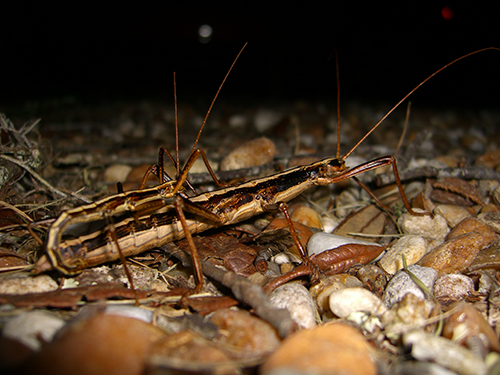 Picture of Walking sticks mating in St. Augustine