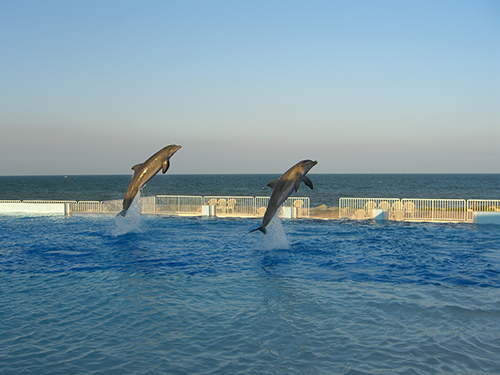 picture of dolphins jumping at marineland of florida