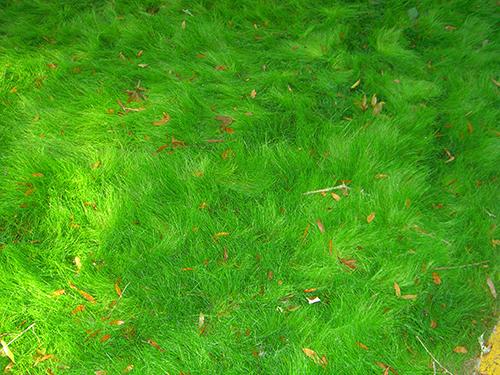 Photo of Rye Grass