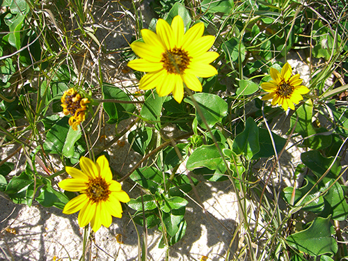 Picture of yellow dune flowers