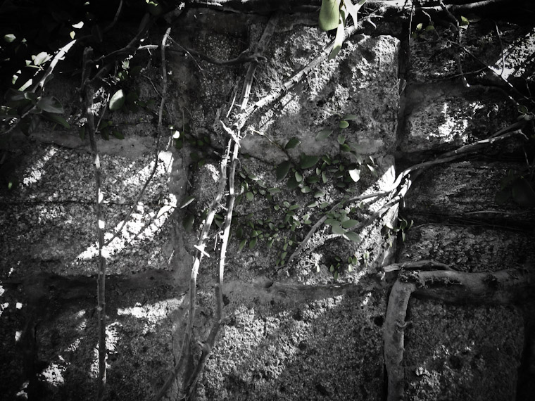 Photo of Coquina Vines in St Augustine Florida.