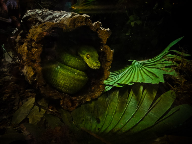 Photo of Coiled Green Snake St Augustine Alligator Farm Florida