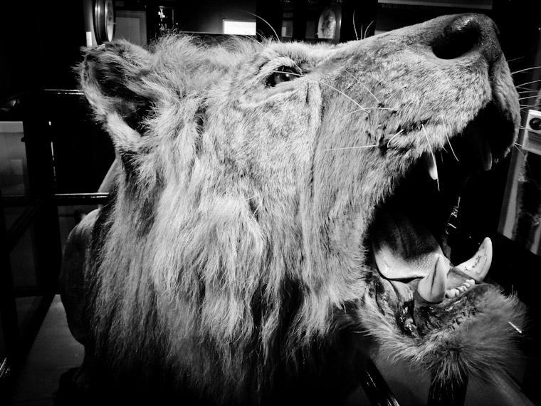 Photo of Winston Churchill's Lion, Rota at the Lightner Museum St. Augsutine Florida