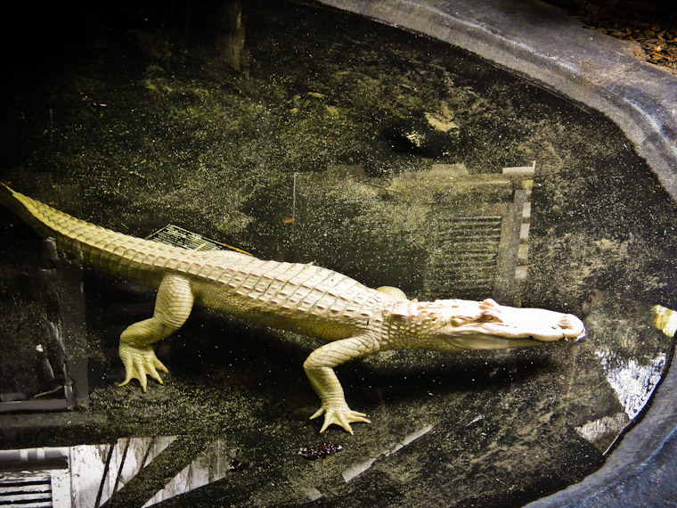 Photo of Albino Alligator Floating at St Augustine Alligator Farm