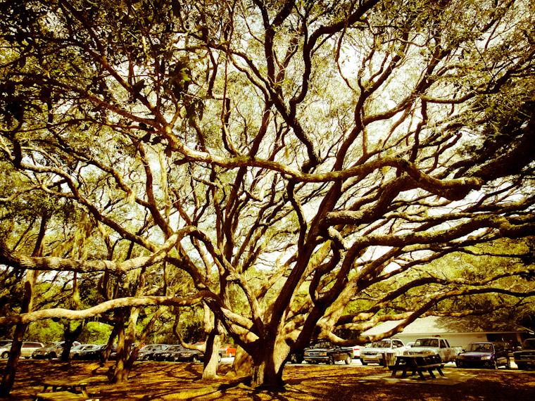 Sprawling Live Oak St Augustine Florida Photo