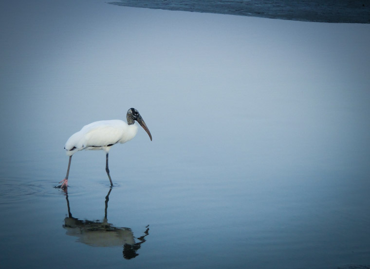 Picture of wading wood stork in St Augustine Florida