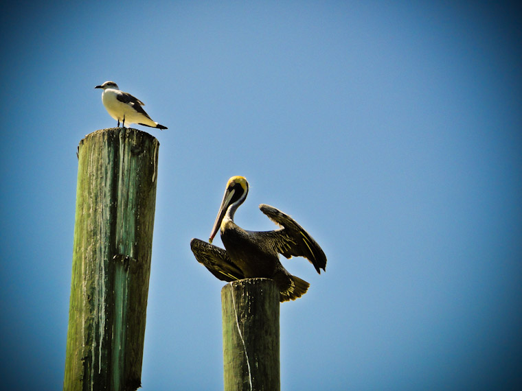 Photo of pelican flexing in Saint Augustine Florida