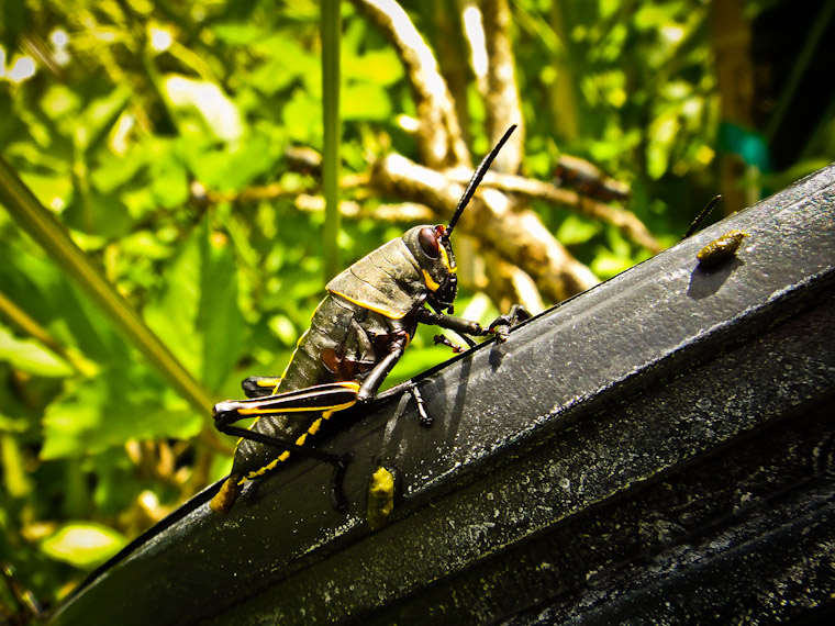 Picture of Eastern Lubber Grasshopper in Saint Augustine Florida