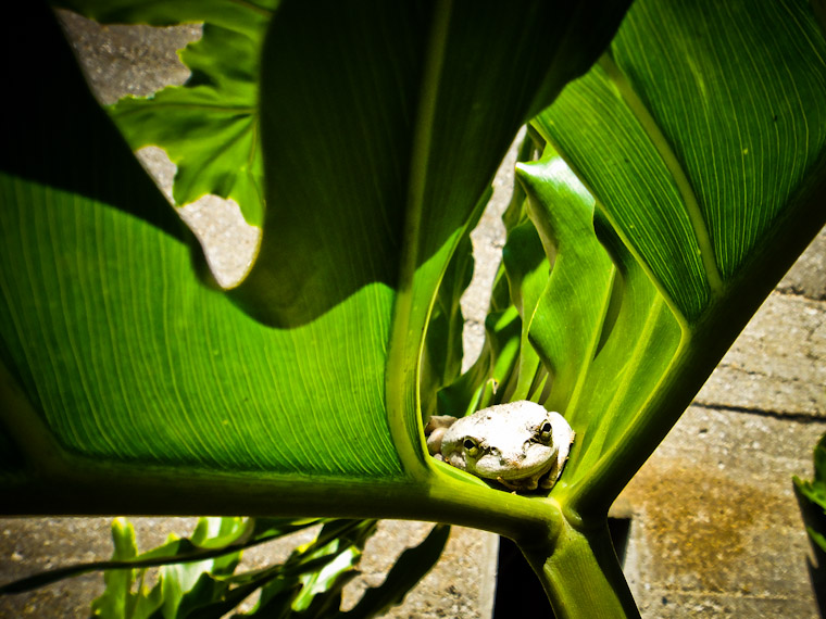 Photo of a Hammock Frog in St Augustine Florida