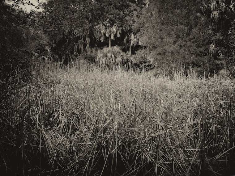 Photo of Dead Reed Woods in Saint Augustine Florida