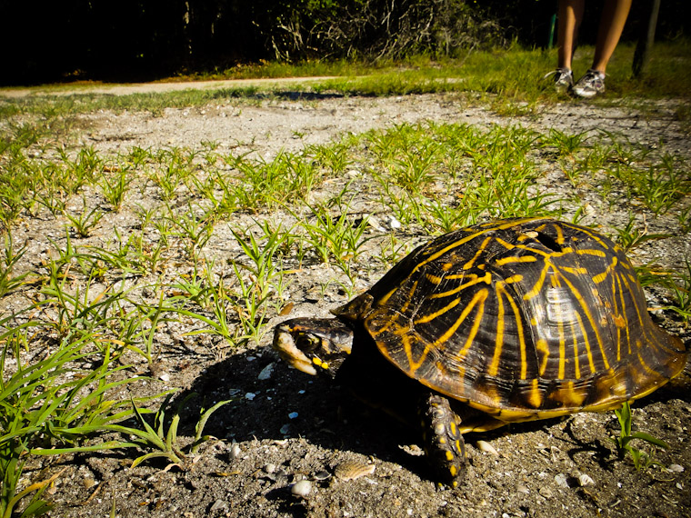 Photo of Florida Box Turtle Race in Saint Augustine Florida