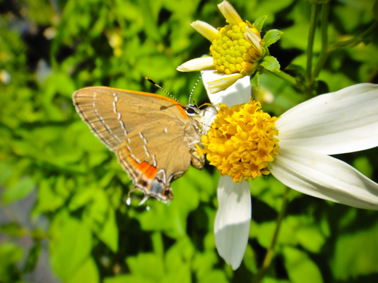 Picture of Red Banded Hairstreak Butterfly in St Augustine Florida