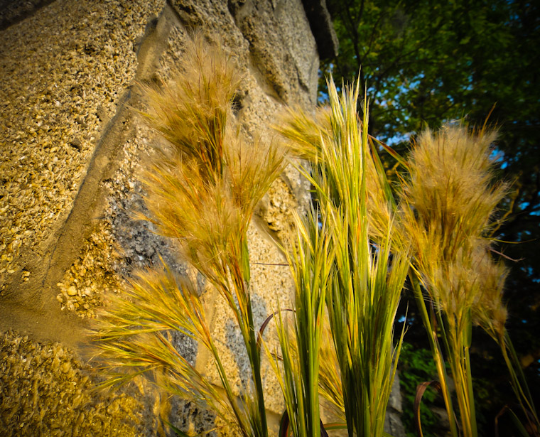 Picture of Coquina Grass in St Augustine Florida