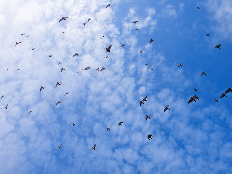 Photo of Flying Flock of Birds in St Augustine Florida