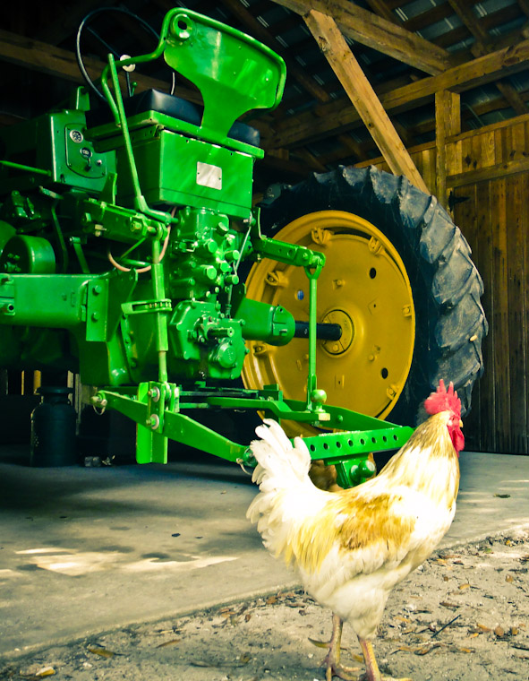 Picture of Tractor and Chicken in Flagler County Florida