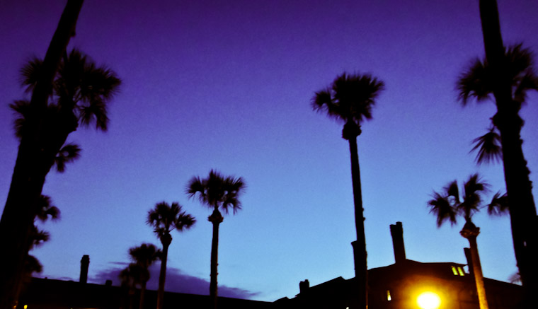 Photo of purple palm crop in St Augustine Florida