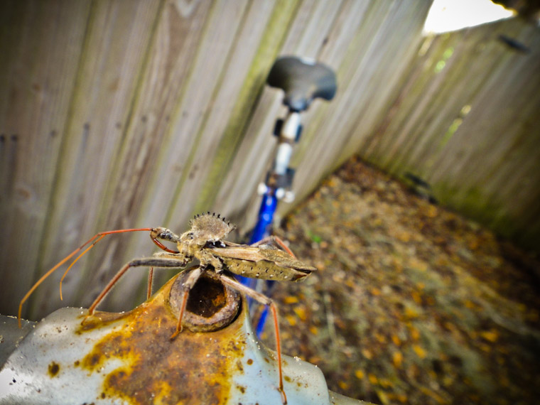 Picture of Wheel Bug on bicycle in St Augustine Florida