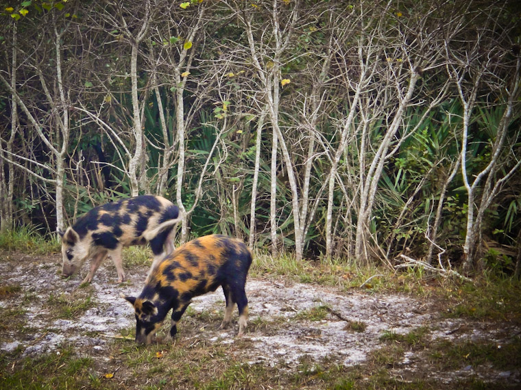 Photo of wild boar buddies in St Augustine Florida