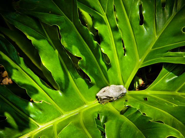 Photo of hiding leap day frog in Saint Augustine Florida