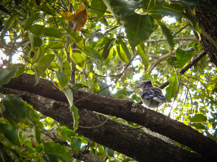 Baby blue jay waiting for mama's breakfast in Florida