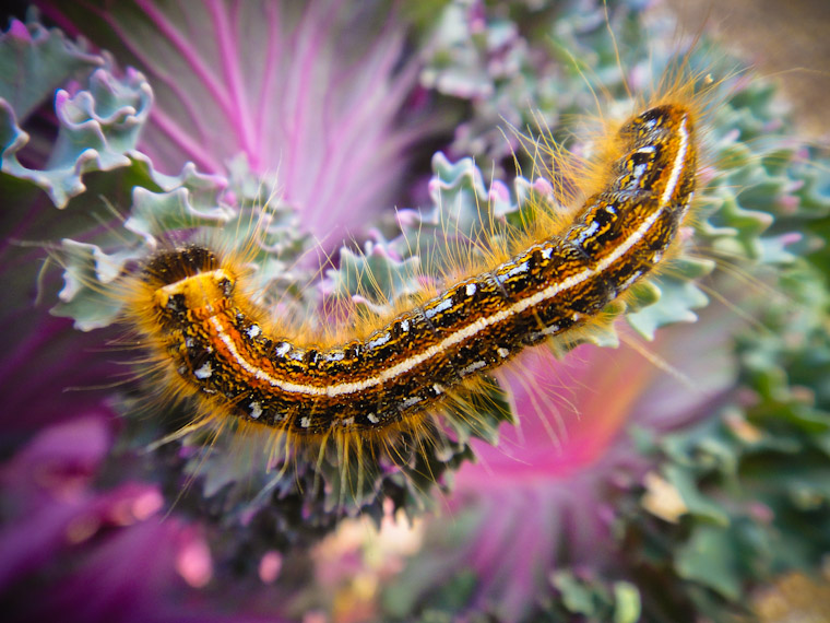 Cabbage and caterpillar