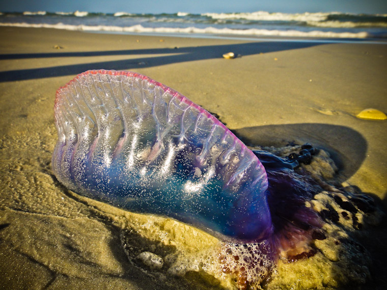 Man of war jelly fish in saint augustine florida