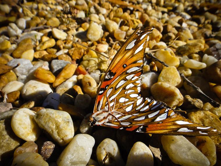 Dead gulf fritillary butterfly photo