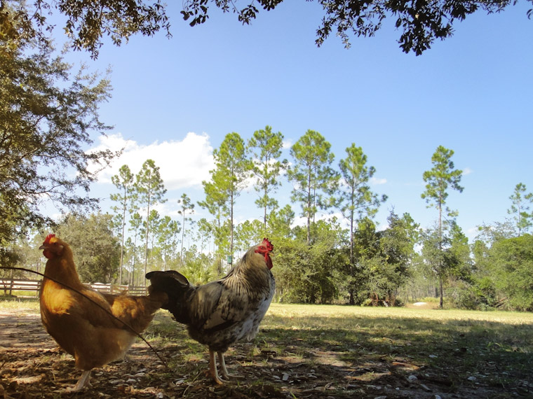 Picture of a chicken standoff in Saint Augustine Florida