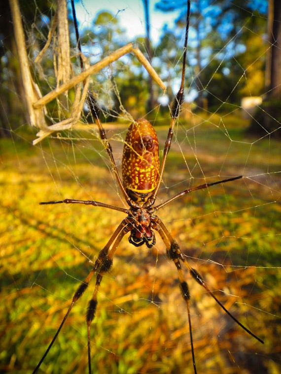 Golden Silk Orb-Weaver Spider in St Augustine Florida