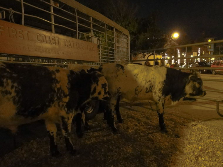 First coast andalusian cattle