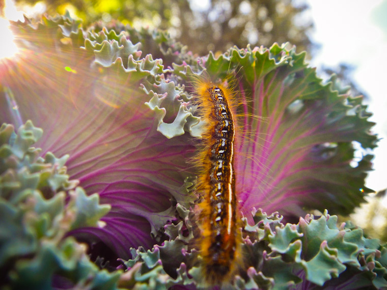 Caterpillar crawling on ornamental cabbage