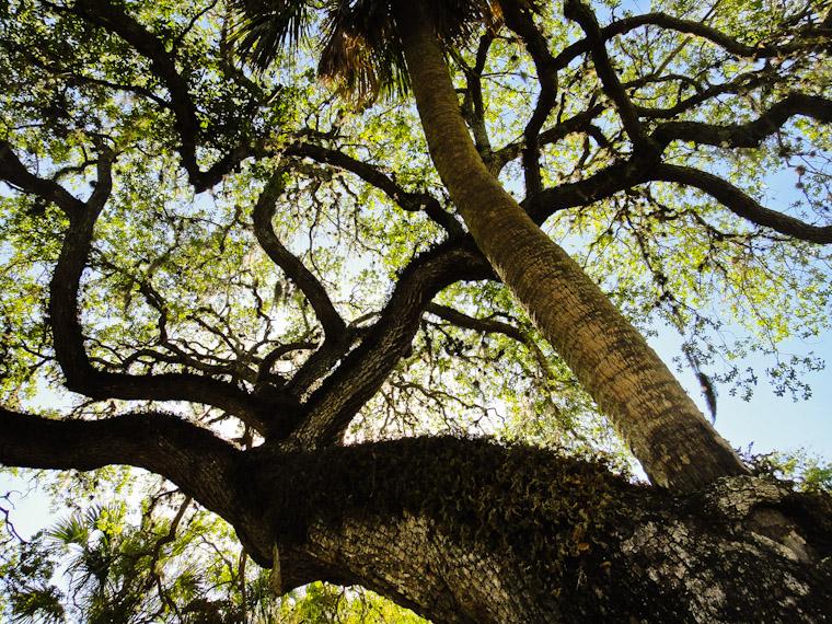 Kissing Tree on Cordova