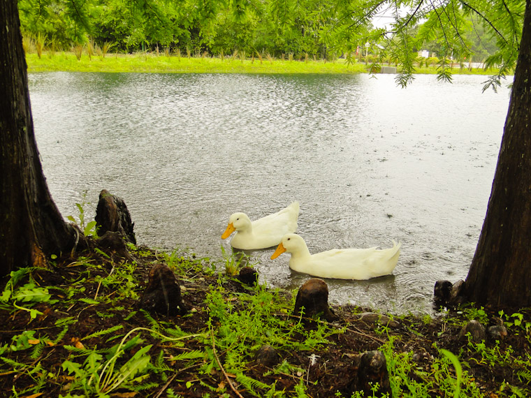 Two white ducks in library pond