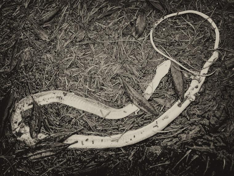 Deceased snake upside down