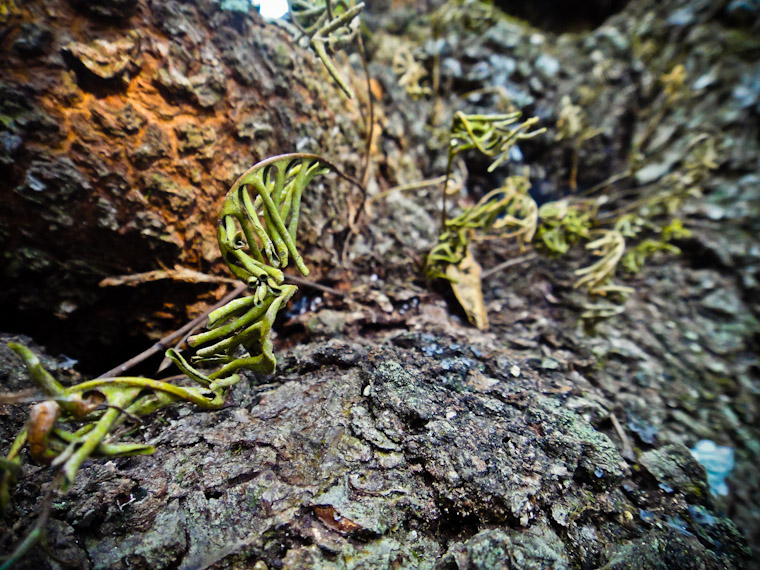 Thirsty Resurrection Ferns Pleopeltis polypodioides