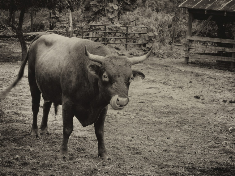 Picture of a cracker cow licking it's nose at the Florida Agricultural Museum