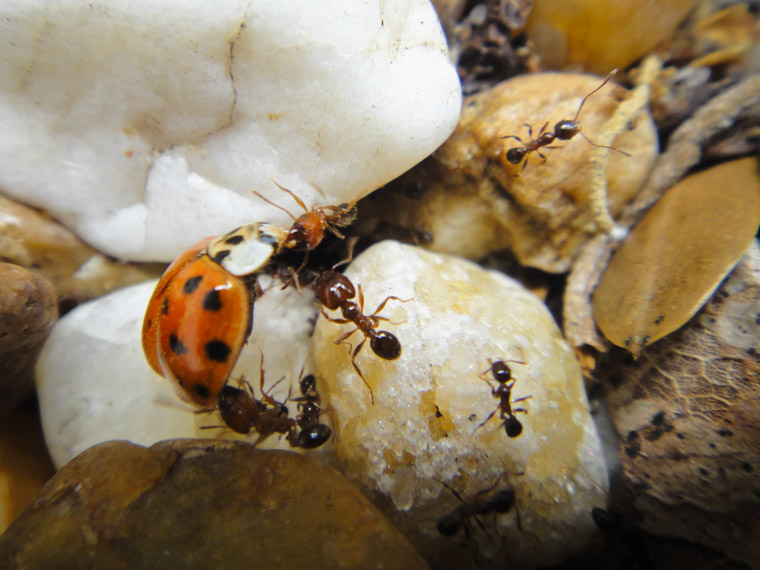 Ants work on bringing a dead ladybug into their nest