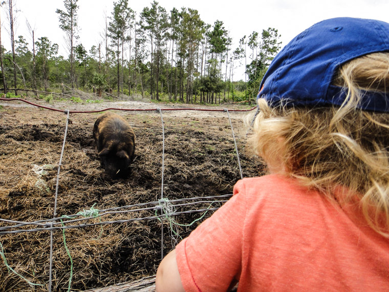 Kid checks out sweet pea the boar at Florida Agricultural Museum