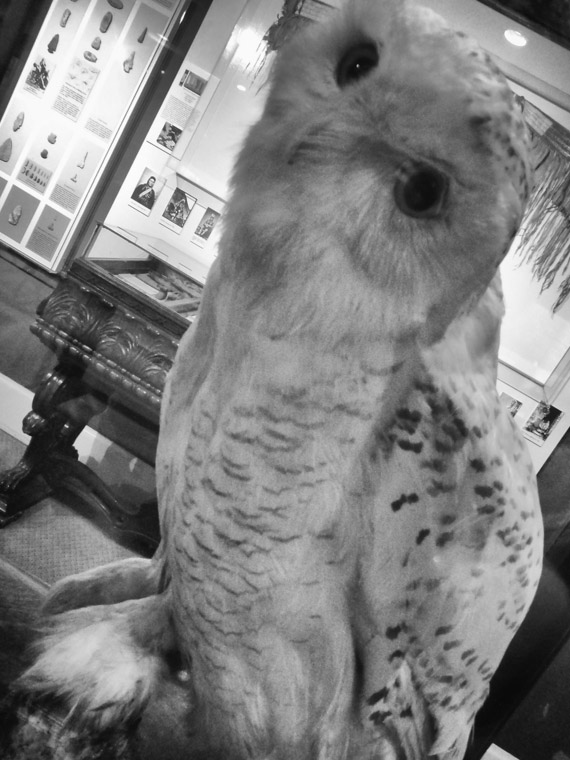 Snowy Owl Mounted at Lightner Museum