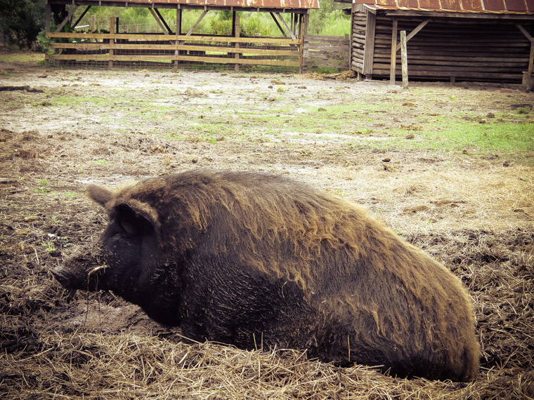Wild Boar Sweet Pea wallowing at Florida Agricultural museum