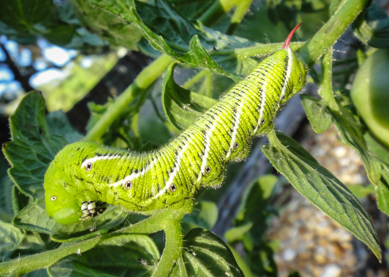 Manduca Sexta caterpillar moth tomato pest