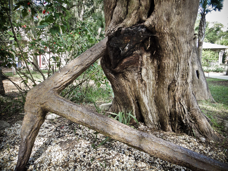 Briish Anchor Rusting in Cedar Tree at Fountain of Youth
