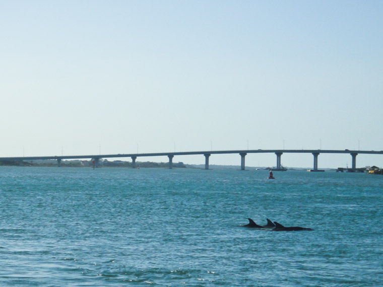 Picture of three dolphins near vilano bridge