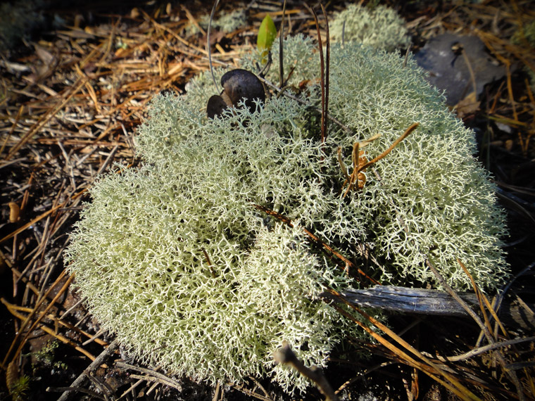 Reindeer lichen puffball in Moses Creek park