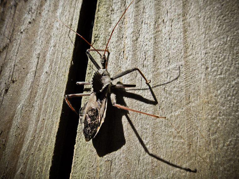 Wheel bug on fence in Florida