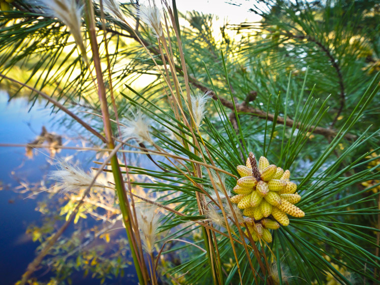Pine tree flower at moses creek state park