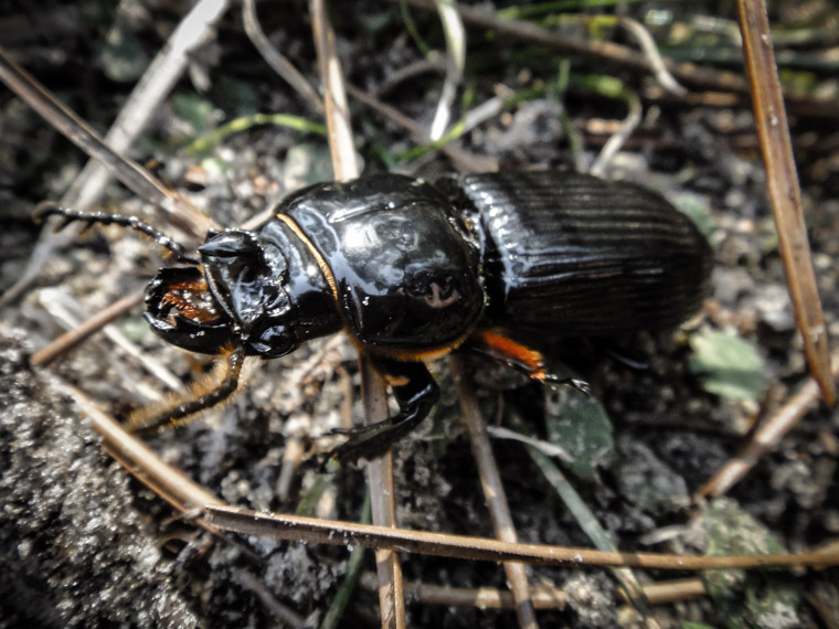 Picture of common black ground beetle