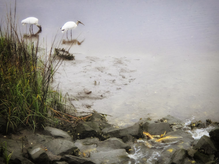 Wood Storks wading and eating near dead fish skeletons